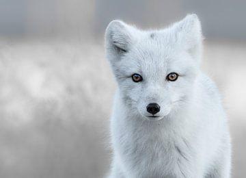 Arctic Fox  sur Tariq La Brijn