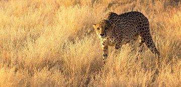 Guépard en Namibie sur Kelly Baetsen