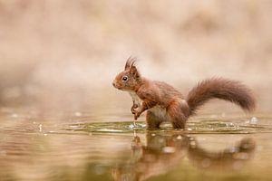 eekhoorn in het water