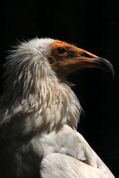 Egyptische gier II van Saskia Hoks