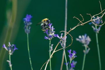 Eine Biene auf einem Lavendelstrauch von Dorris Daggenvoorde