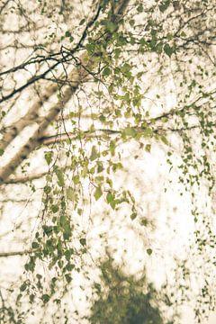 Birkenblätter im Wind