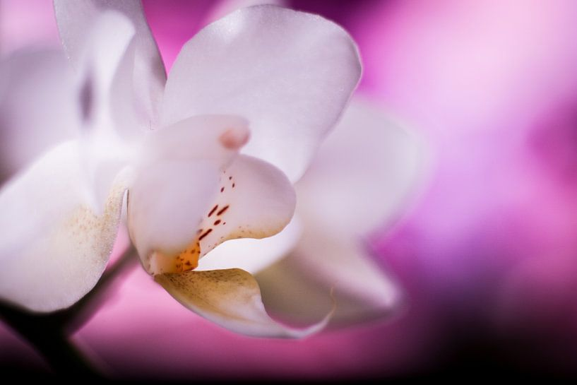 Witte orchidee met paarse achtergrond van Mike Attinger