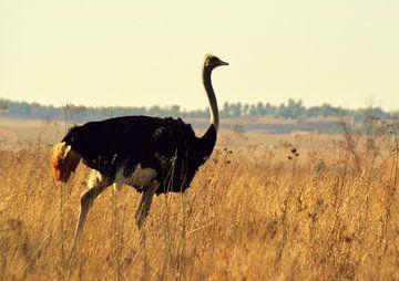 Struisvogel op de savanne in natuurgebeid Rietvlei, middenin Pretoria van Vera Boels