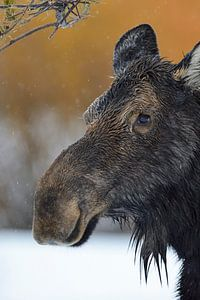 Eland ( Alces alces ), eland koe in de winter, hoofdportret, Yellowstone Area, Grand Teton, Wyoming,
