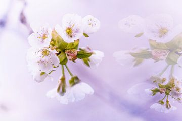 Kirschblüte von Maja Mars