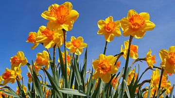 Nahaufnahme von gelben Narzissen in einem Blumenzwiebelfeld im Frühling von eric van der eijk