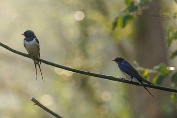 Twee zwaluwen in het ochtendlicht van Arjan van de Logt