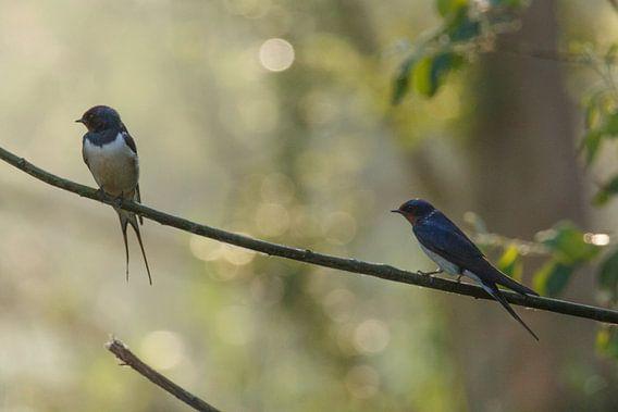 Twee zwaluwen in het ochtendlicht