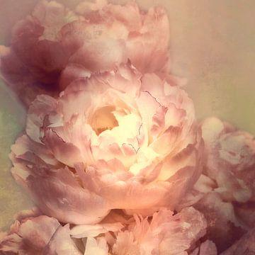 Romantische Pfingstrosen von Claudia Moeckel