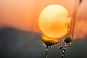 Sonne blütenkelch von Tania Perneel