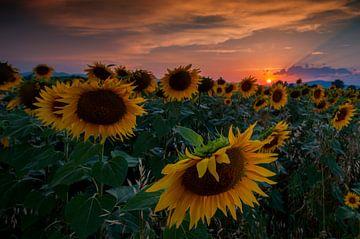 Sunflowers sur Reint van Wijk