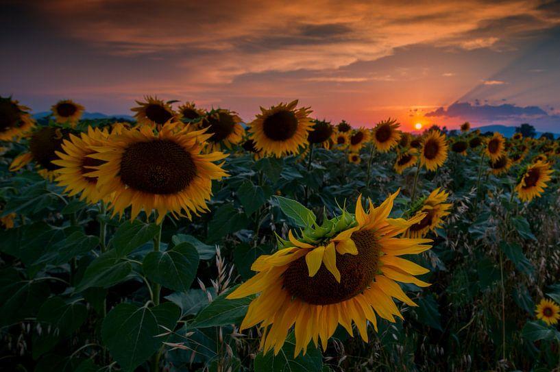 Sunflowers van Reint van Wijk