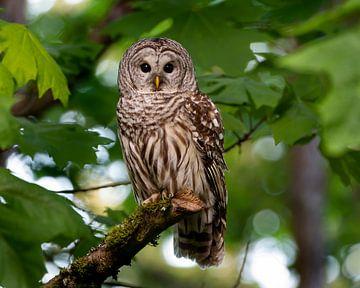 Amerikanischer Waldkauz in Kanada von Beschermingswerk voor aan uw muur
