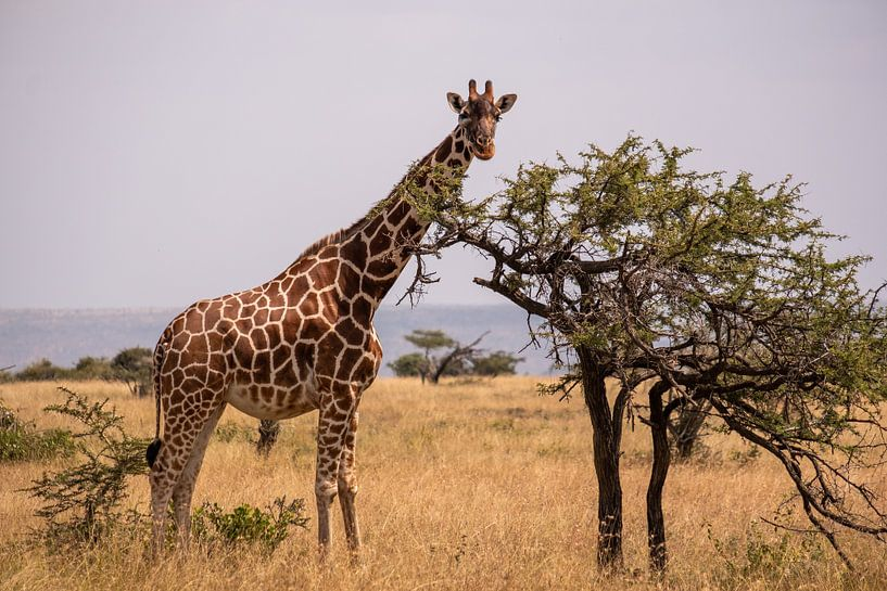 Giraffe in Kenia von Andy Troy