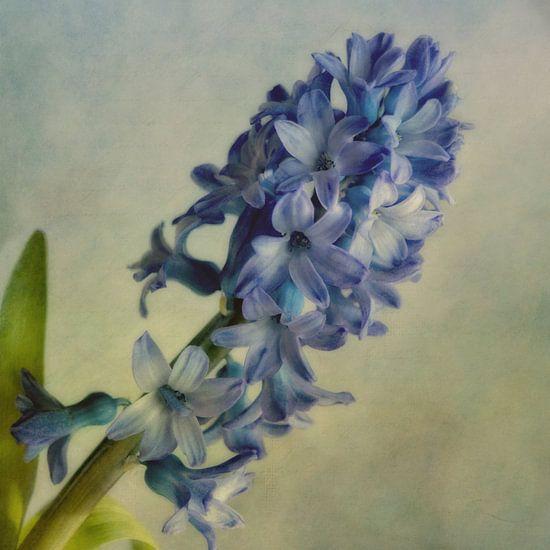 Hyacint van Claudia Moeckel