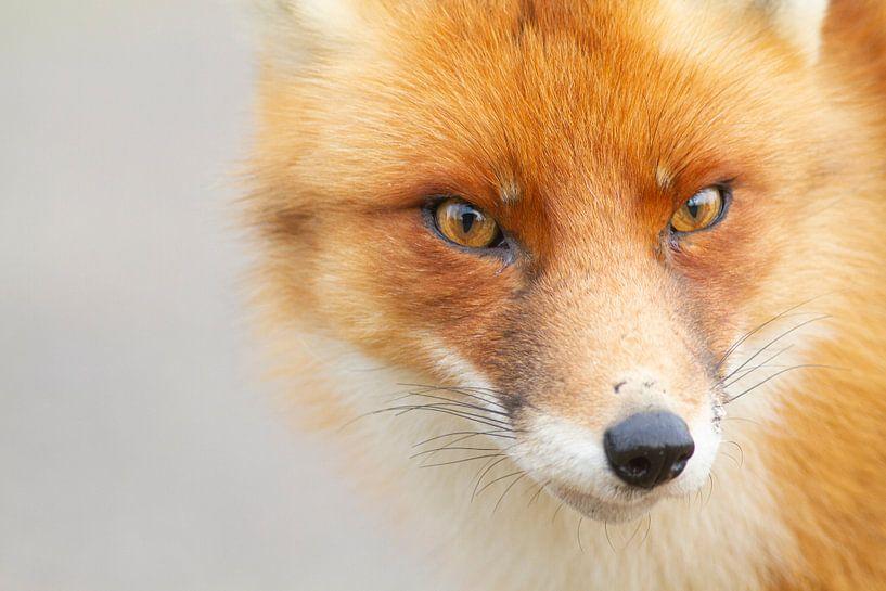 Fox von Wesley Poelman