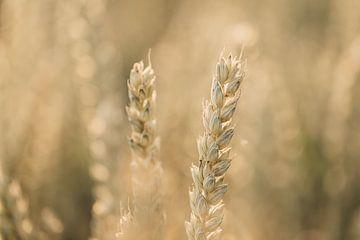 Getreide im Abendlicht von KB Design & Photography (Karen Brouwer)