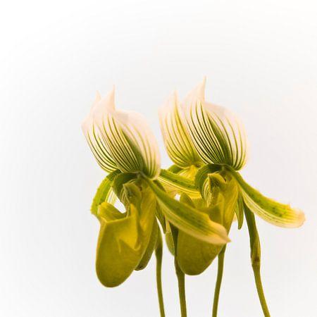 Flower Orchidea Quartet