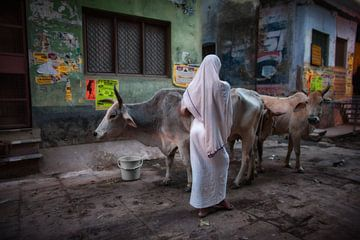 Vrouw hoedt twee koeien in de sloppenwijk van Varanasi India. Wout Kok One2expose van Wout Kok