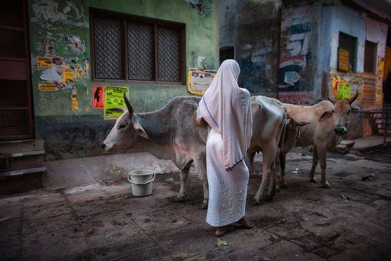 Vrouw hoedt twee koeien in de sloppenwijk van Varanasi India. Wout Kok One2expose