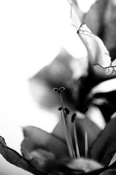 Dramatisch hartvormig stamper in amarylis zwart wit high key van Mariska van Vondelen