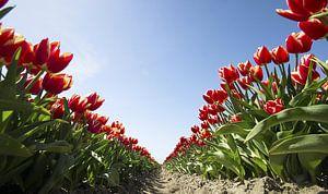 Tulip V van