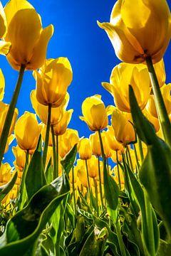 Gelbe Tulpen unter einem klaren blauen Himmel von Freek van Oord