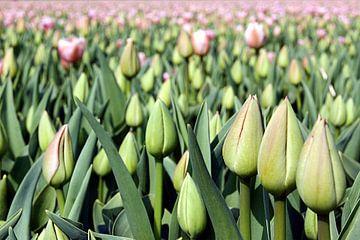 Tulip Time  van
