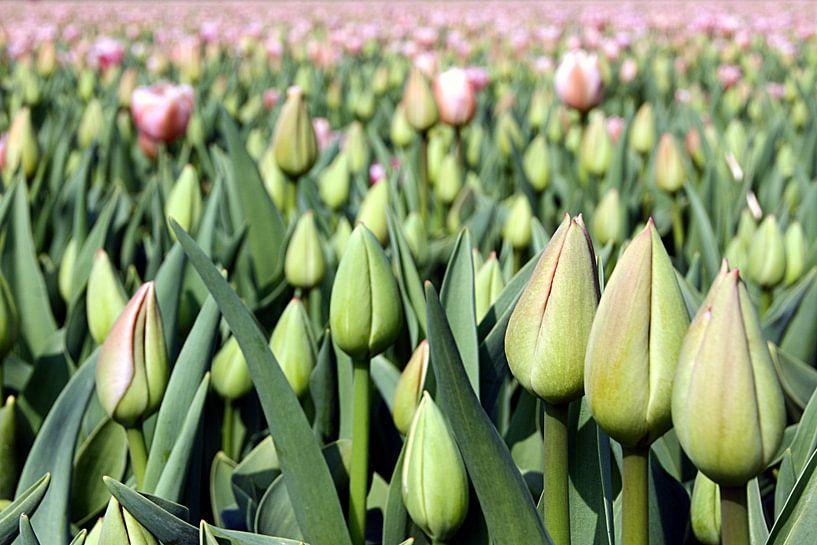 Tulip Time  van Remy De Milde
