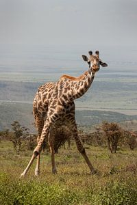 Giraffe Ochtendgymnastiek