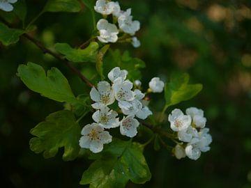 Blossom van Marloes Vissers-Schurman