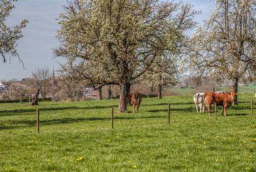 Bloeiende fruitbomen bij Epen in Zuid-Limburg van John Kreukniet