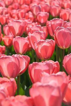Feld mit rosa Tulpen in der Sonne von Laura Weemering