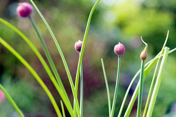 Blühender Schnittlauch im Garten von Gaby Hendriksz