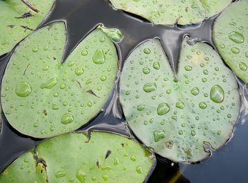 Waterlelieblad met waterdruppels van Pieter Korstanje