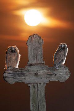 Zwei junge Eulen mit der Sonne von AGAMI Photo Agency