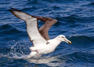 Albatros à tête blanche (Thalassarche steadi) sur Beschermingswerk voor aan uw muur
