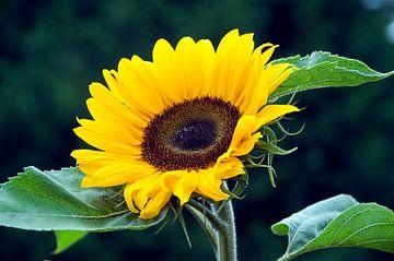 een gele zonnebloem van Compuinfoto .