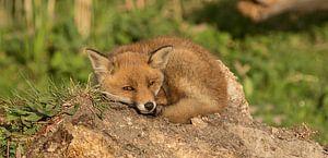 fox at oostvaardersplassen van