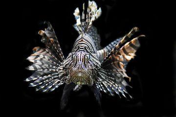 Koraalduivel, Lionfish van Liscia Beenhakker