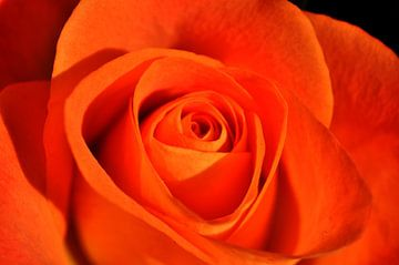 oranje roos van Pyter de Roos
