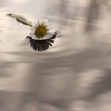 Madeliefje in het water van willemien kamps