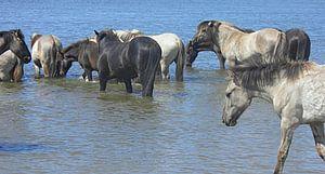 Konik Paarden in de rivier bij De Blauwe Kamer van