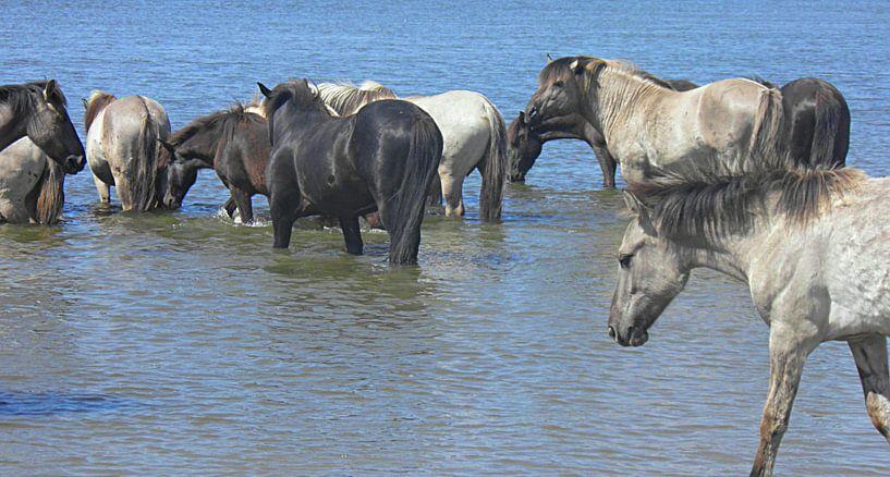 Konik Paarden in de rivier bij De Blauwe Kamer van Wilfried van Dokkumburg