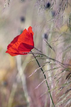 Romantische Mohnblume von Kurt Krause