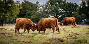 Combattre les jeunes taureaux