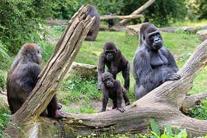 Gorilla familie met vader en zoon
