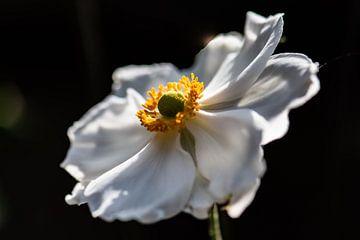 aster blanc d'automne sur Tania Perneel