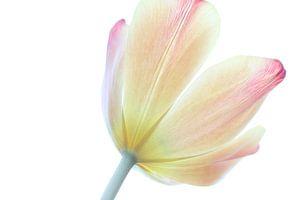 Die stolze Tulpe van